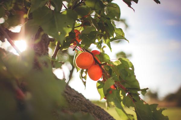 picjumbo.com apricot tree